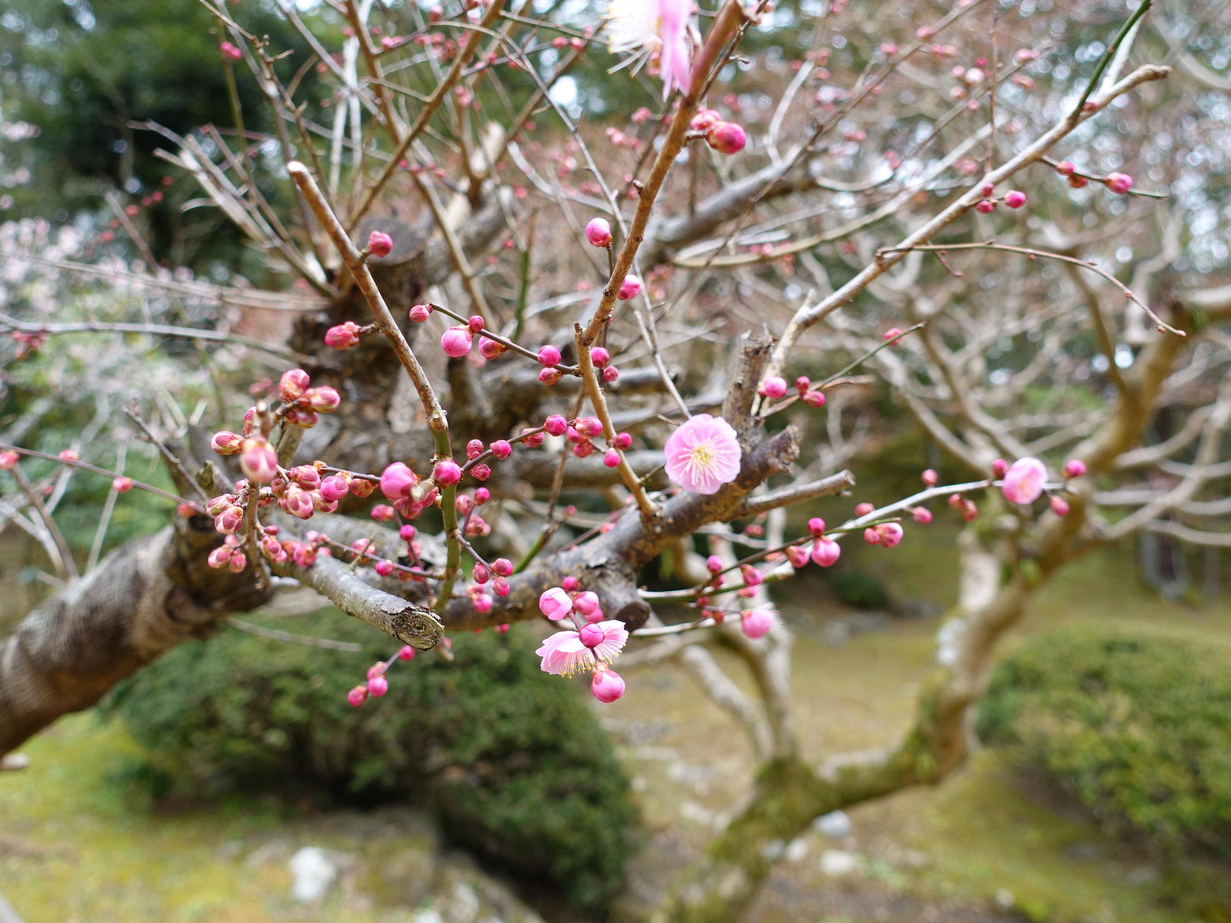 梅花祭在有名觀光地成田山盛大舉辦